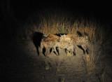 Spotted Hyena (Crocuta crocuta), South Luangwa National Park night drive