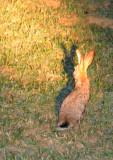 No leopard tonight but we got a Scrub Hare