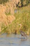 Goliath Heron (Ardea goliath), Zambezi River