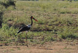 Saddle-billed Stork (Ephippiorhynchus senegalensis), Lower Zambezi National Park
