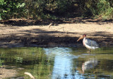 Marabou Stork (Leptoptilos crumeniferus), Lower Zambezi National Park