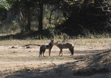 A pair of jackals (Canis adustus), Lower Zambezi National Park