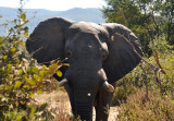 Impressive bull elephant coming out of the bush