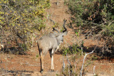 Kudu retreating from the river as the boat approaches