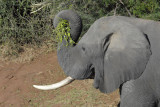 Elephant with large tusks eating