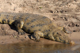 Nile Crocodile, Chobe National Park