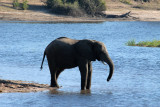 Elephant in the river, Chobe National Park