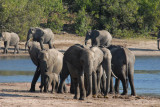 Large herd of elephants, Chobe National Park