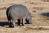 Hippopotamus out of water during the day, Chobe
