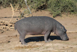 Hippo out of water, Chobe