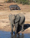Elephant and Hippo, Chobe