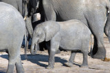 Young elephant, Chobe