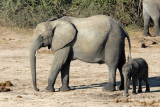 Elephant with calf, Chobe National Park