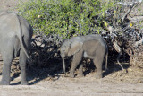 Baby elephant, Chobe National Park