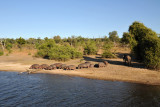 Herd of hippos up on the banks of the Chobe River during the day