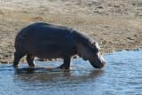 Hippopotamus, Chobe National Park