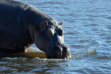 Hippo standing in shallow water, Chobe National Park