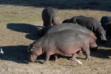 Hippos on shore, Chobe National Park