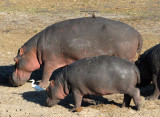 Hippos, Chobe National Park
