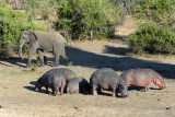 An elephant giving a herd of hippos room as it passes by along the Chobe River