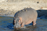 Hippo entering the Chobe River