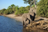 Elephants, Chobe Riverfront, Botswana