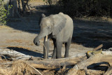 Elephant, Chobe National Park