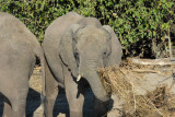Elephant munching on dried grass