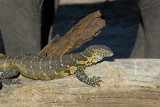 Nile monitor lizard, Chobe National Park