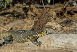 Varanus niloticus - Nile Monitor