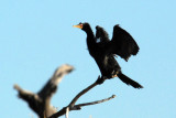 Reed Cormorant (Microcarbo africanus) drying its wings