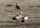 Egyptian geese on the shore of the Chobe River, Botswana