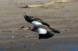Egyptian goose (Alopochen aegyptiacus) in flight, Chobe National Park, Botswana