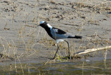 Blacksmith Plover (Vanellus armatus), Chobe National Park