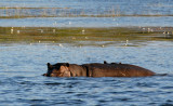 Hippo, Chobe National Park