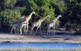 Herd of giraffe, Chobe National Park