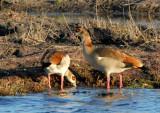 Egyptian geese, Chobe National Park