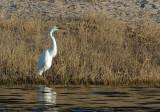 Great White Egret (Ardea alba melanorhynchos), Chobe National Park, Botswana