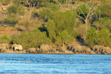 Herd of elephants walking along the Chobe River, late afternoon