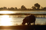 Hippo at Sunset, Chobe River, Botswana-Namibia