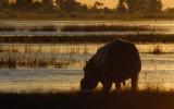 Hippo at Sunset, Chobe River, Botswana-Namibia