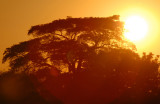 Sunset with a large tree on the Namibia side of the Chobe River