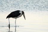 Marabou stork wading along the Chobe Riverfront