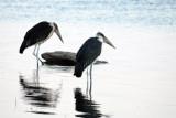 Marabou storks (Leptoptilos crumeniferus)