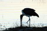 Marabou Stork, Chobe River