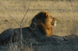 Lion with a full mane, Chobe National Park