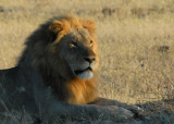 Lion in the early morning sun, Chobe National Park
