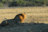 Lion roar, Where's my breakfast!, Chobe National Park