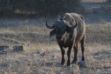 Cape (African) Buffalo, Chobe National Park