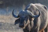 Cape (African) Buffalo, Chobe National Park